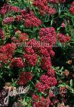 ACHILLEA millefolium  'Cerise Queen' Portion(s)