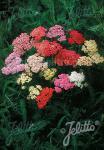 ACHILLEA millefolium  'Colorado'