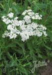ACHILLEA millefolium  'Proa' Portion(en)