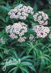 ACHILLEA sibirica ssp. camtschatica  'Love Parade'