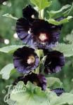 ALCEA (ALTHAEA) rosea var. nigra   Portion(en)