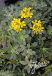 ALYSSUM cuneifolium   Portion(s)