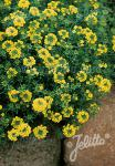 ALYSSUM montanum  'Mountain Gold' Portion(s)