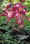 AQUILEGIA vulgaris Winky-Series 'Winky Red-White' Portion(s)