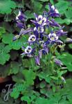 AQUILEGIA vulgaris Winky-Serie 'Winky Blau-Weiß' Portion(en)