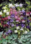 AQUILEGIA vulgaris  'Grandmothers Garden' Portion(s)