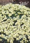 ARABIS caucasica  'Pixie Cream'