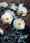 ARGEMONE polyanthemos   Portion(en)