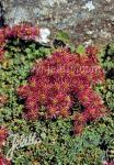 ACAENA microphylla   Korn