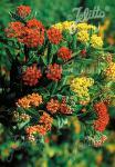 ASCLEPIAS tuberosa  'Gay Butterflies' Seeds