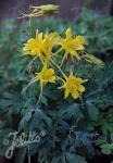 AQUILEGIA chrysantha  Denver Gold® Portion(s)