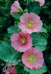 ALCEA Rosea-Hybr. Spotlight Series 'Radiant Rose' Portion(s)