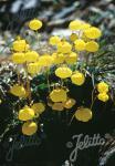 CALCEOLARIA biflora  'Goldcap' Portion(s)