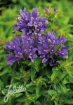 CAMPANULA glomerata  'Bellefleur Blue'(R) Portion(s)