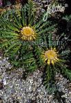 CARLINA acanthifolia   Portion(en)
