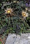 CARLINA acaulis ssp. caulescens  'Bronze'