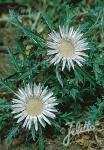 CARLINA acaulis ssp. caulescens   Portion(s)