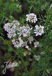 CORIANDRUM sativum  'Typ Slowbolt' Portion(s)