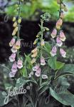 DIGITALIS purpurea ssp. heywoodii   Portion(s)