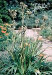 ERYNGIUM agavifolium   Portion(en)