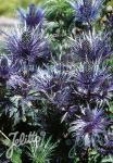 ERYNGIUM alpinum  'Blue Star®' Portion(en)