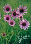 ECHINACEA tennesseensis  'Rocky Top Hybr.' Portion(s)