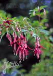 FUCHSIA magellanica   Portion(en)
