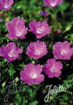 GERANIUM sanguineum f. nanum   Seeds