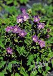 GERANIUM sylvaticum   Seeds