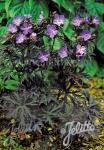 GERANIUM pratense  'Dark Reiter' Seeds