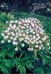 GERANIUM maderense  'Guernsey White' Seeds