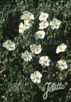 HELIANTHEMUM apenninum   Portion(s)