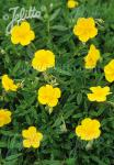 HELIANTHEMUM nummularium   Portion(s)