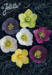 HELLEBORUS Orientalis-Hybr.  Neueste Hybriden Portion(en)