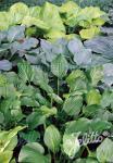 HOSTA (H.elata x H.fortunei x H.sieboldiana)  Neue Hybriden Portion(en)