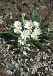 LEWISIA nevadensis   Portion(s)
