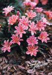 LEWISIA Longipetala-Hybr. Little-Series 'Little Plum'