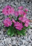 LEWISIA Cotyledon-Hybr.  'Elise Ultra Violet' Portion(s)
