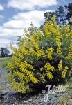 LUPINUS arboreus f. luteus  gelb Portion(en)