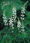 LINARIA purpurea  'Springside White' Seeds