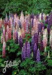 LUPINUS Perennis-Hybr. Russell Band of Nobles Series 'Russellmixture' Portion(s)
