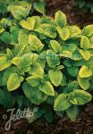 MELISSA officinalis  'Gold Leaf' Portion(en)