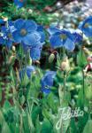 MECONOPSIS x sheldonii  'Lingholm' (Fertile Blue Group) Seeds