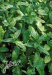 MENTHA Spicata-Hybr.   Portion(en)