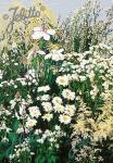 Perennial Mix white colors, medium, 30-80 cm Portion(s)