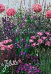 Perennial Mix blue colors, high, 80-140 cm Portion(s)