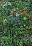 Basic Mix of Herbal Plants+Grasses for Green Roofs Portion(s)