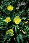 OENOTHERA acaulis var. aurea   Portion(s)