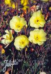 OENOTHERA odorata  'Sulphurea' Portion(s)