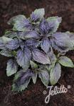 OCIMUM basilicum  'Ararat' Portion(s)